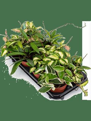 Hoya carnosa mix 8/tray
