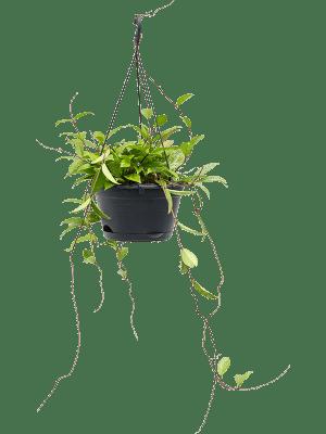 Hoya memoria 'Gracilis' Retombant 28/21 60 - Plante