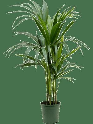 Kentia (Howea) forsteriana Toef 5pp 17/16 90 - Plant