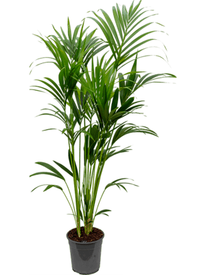 Kentia (howea) forsteriana Tuff 6pp 24/22 160 - Pflanze