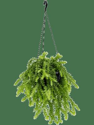 Huperzia squarrosa Ranker 28/17 55 - Pflanze