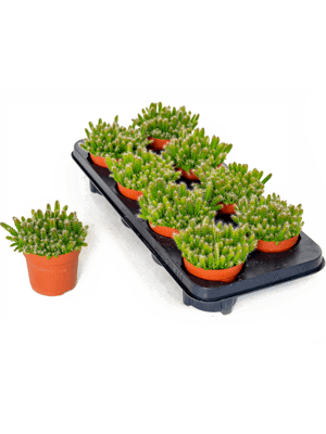 Hylocereus undatus 8/tray