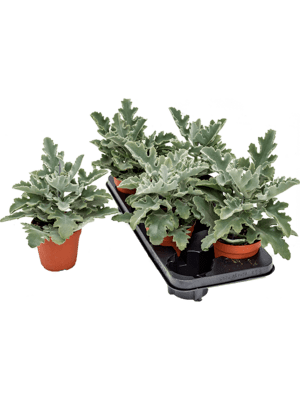 Kalanchoe beharensis 4/tray