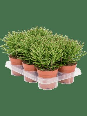 Kalanchoe tubiflora 6/tray