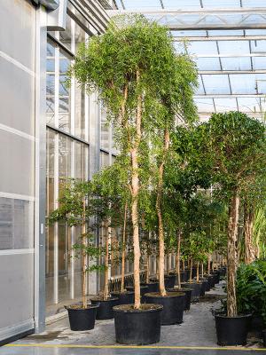 Melaleuca leucadendra Tige 80/55 525 - Plante