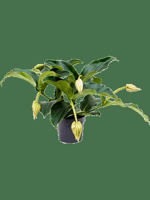 Medinilla magnifica 4+ Blüte 17/15 65 - Pflanze