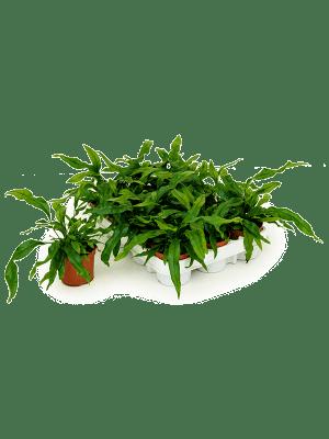 Microsorum diversifolium 12/tray