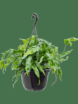 Microsorum diversifolium Retombant 20/14 40 - Plante
