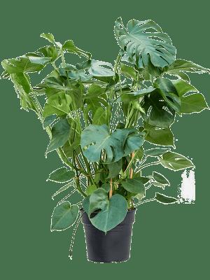 Monstera deliciosa Toef 30/27 80 - Plant