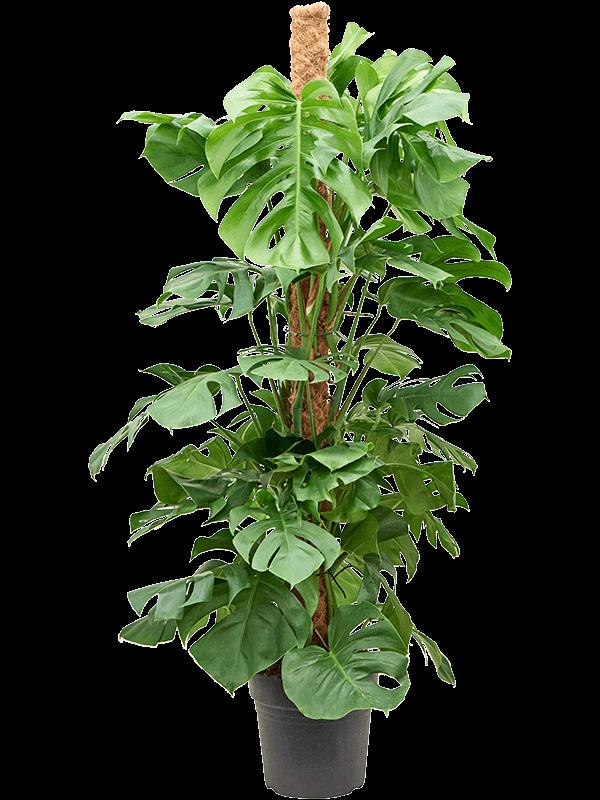 Monstera deliciosa Mosstok 150 27/24 150 - Plant - Main image