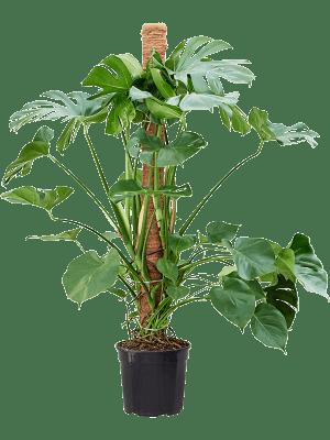 Monstera deliciosa Mosstok 150 30/27 130 - Plant