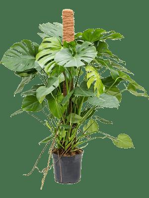 Monstera deliciosa Mosstok 120 24/21 120 - Plant