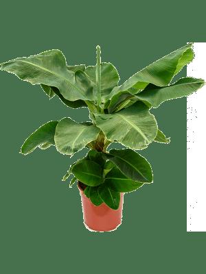 Musa tropicana