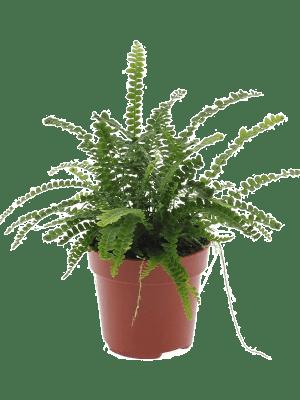 Nephrolepis cordifolia duffii 6/tray