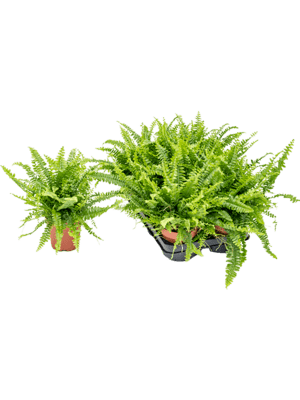 Nephrolepis green lady 6/tray