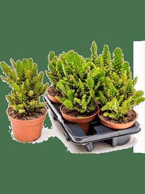 Opuntia monacantha variegata 4/tray