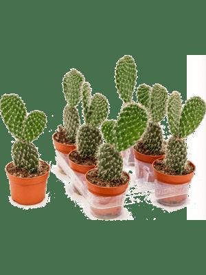 Opuntia pylana 6/tray