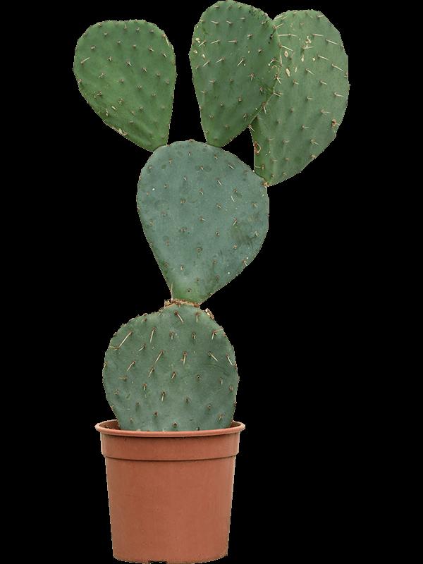 Opuntia robusta  17/15 50 - Plante - Main image