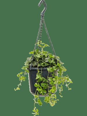 Parthenocissus striata Hanger 15/12 40 - Plant