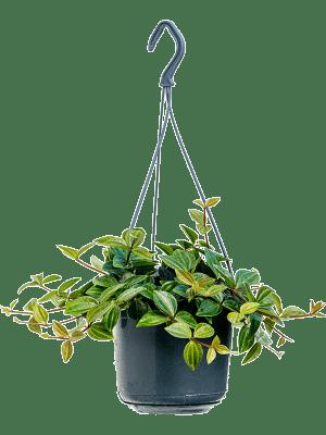 Peperomia angulata 'Rocca Scuro' Hanger 15/12 25 - Plant