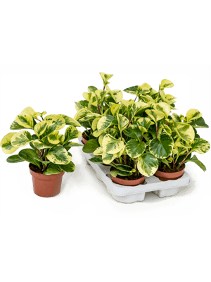 Peperomia marble 6/tray