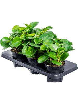 Peperomia obtusifolia green 6/tray