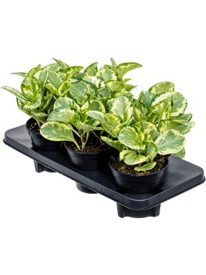Peperomia obtusifolia golden gate 6/tray