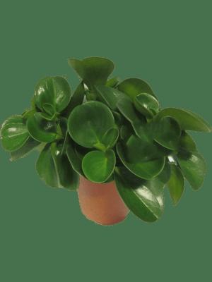 Peperomia obtusifolia 6/tray