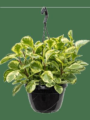 Peperomia obtusifolia 'Golden Gate' Hanger 20/14 50 - Plant