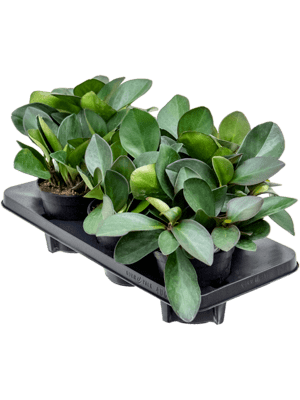 Peperomia clusifolia red margin 6/tray