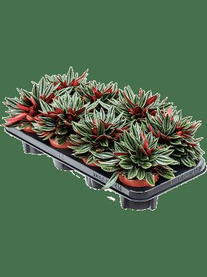 Peperomia caperata 'Rosso' 8/tray  11/9 20 - Plant