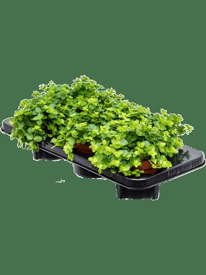 Peperomia rotundifolia 6/tray