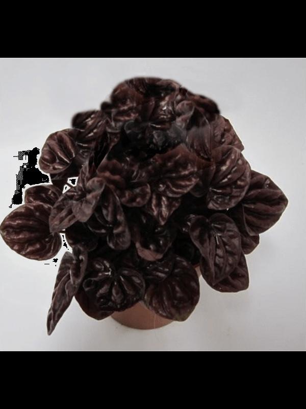 Peperomia caperata 'Schumi Red' 8/tray Red 11/9 20 - Plant - Main image