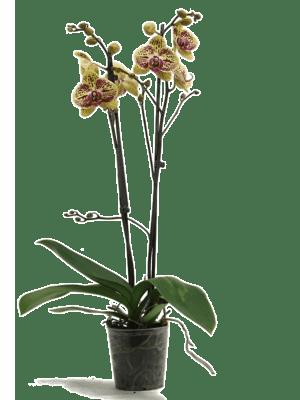 Phalaenopsis mariola 10/tray