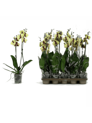 Phalaenopsis yellow cow 10/tray