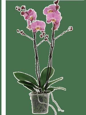 Phalaenopsis padova 10/tray