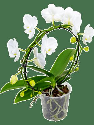 Phalaenopsis wit 2/tray