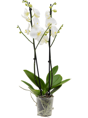 Phalaenopsis lively 6/tray