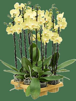 Phalaenopsis limelight 6/tray