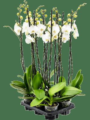 Phalaenopsis ikaria 6/tray