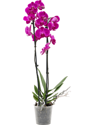 Phalaenopsis party time 6/tray