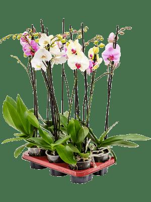 Phalaenopsis 6/tray