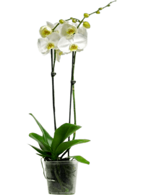 Phalaenopsis misty mountain 10/tray
