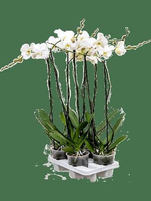 Phalaenopsis tsarine 4/tray