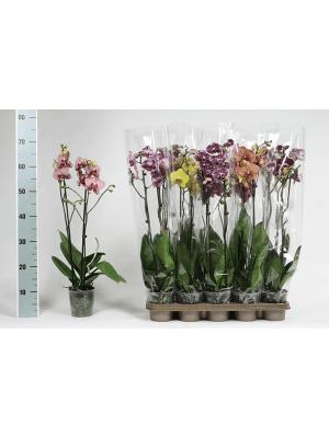 Phalaenopsis extra mix 10/tray 2-Branches 14+ 12/11 65 - Plante