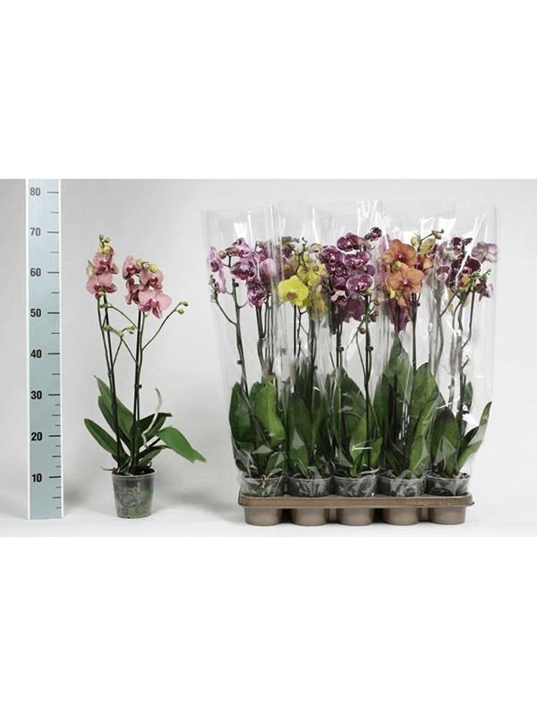Phalaenopsis extra mix 10/tray 2-Tak 14+ 12/11 65 - Plant - Main image