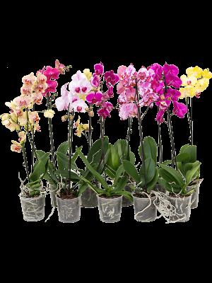 Phalaenopsis mix 10/tray