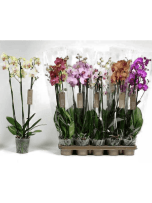 Phalaenopsis mix 10/tray