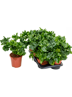 Philodendron atom 4/tray