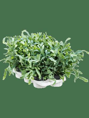 Phlebodium aurem 'Blue Star' 6/tray Bleu 17/13 50 - Plante